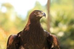cierre del águila de oro para arriba Fotos de archivo