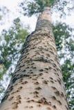 Cierre del ángulo bajo para arriba de la textura de la corteza de árbol de abedul y de la hoja verde Fotos de archivo