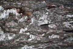Cierre del árbol de abedul de la corteza del fondo para arriba Fotografía de archivo