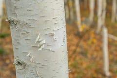 Cierre del árbol de abedul de papel para arriba Imagenes de archivo