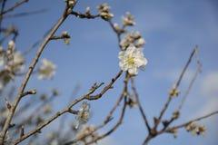 Cierre del árbol de almendra encima del detalle fotografía de archivo libre de regalías