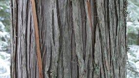 Cierre del árbol de cedro para arriba en invierno Demostración de la corteza de Brown en el primero plano imagen de archivo libre de regalías