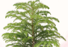 Cierre del árbol de pino de Norfolk para arriba Fotos de archivo