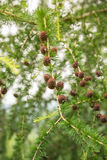 Cierre del árbol de pino del alerce para arriba Fotos de archivo