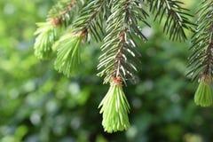 Cierre del árbol de pino para arriba Imagen de archivo libre de regalías