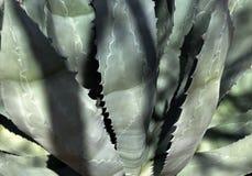 Cierre del agavo encima de la planta tropical Fondo natural imágenes de archivo libres de regalías