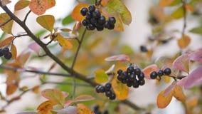 Cierre del arbusto del Chokeberry para arriba, cacerola almacen de video