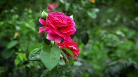 Cierre del brote de la rosa del rojo encima de la macro almacen de video