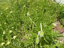 Cierre del bulbo de la amapola con la cubierta verde fotografía de archivo libre de regalías