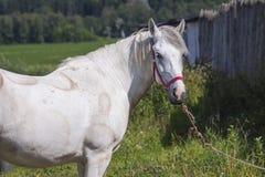Cierre del caballo blanco para arriba Fotos de archivo libres de regalías
