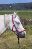 Cierre del caballo blanco para arriba Imagen de archivo