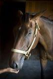 Cierre del caballo de bahía encima del tiro principal Fotos de archivo libres de regalías