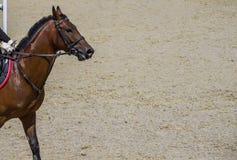Cierre del caballo de la castaña de la bahía para arriba Retrato del caballo de bahía durante la competencia de la doma fotografía de archivo libre de regalías