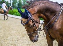 Cierre del caballo de la castaña de la doma para arriba Retrato del caballo de la castaña durante la competencia de la doma imagenes de archivo