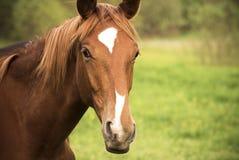 Cierre del caballo de Trakehner para arriba Imágenes de archivo libres de regalías