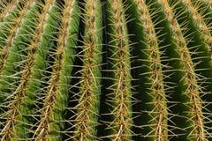 Cierre del cactus del grusonii de Echinocactus para arriba, formato completo fotos de archivo libres de regalías