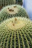 Cierre del cactus del grusonii del echinocactus dos encima de la macro de la opinión de la estructura imagenes de archivo