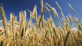 Cierre del campo de grano encima del tiro metrajes