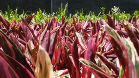 Cierre del campo de hierba roja y verde para arriba el día soleado Fotos de archivo libres de regalías