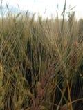 Cierre del campo de trigo para arriba Imagen de archivo libre de regalías