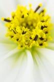 Cierre del centro de la flor del cosmos para arriba fotografía de archivo libre de regalías