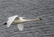 Cierre del cisne de trompetista en vuelo foto de archivo libre de regalías
