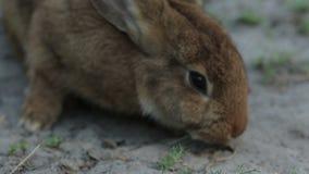 Cierre del conejo de Brwon para arriba almacen de video