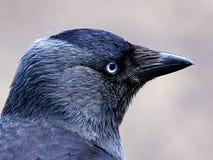 Cierre del cuervo para arriba en color fotografía de archivo