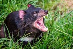 Cierre del diablo tasmano para arriba fotografía de archivo libre de regalías