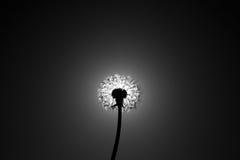 Cierre del diente de león el disco del sol Fotos de archivo libres de regalías