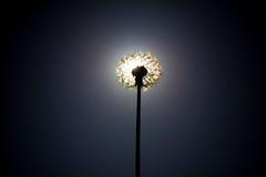 Cierre del diente de león el disco del sol Fotografía de archivo