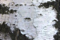 Cierre del documento de información de la textura de la corteza de abedul para arriba Imagenes de archivo