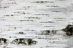 Cierre del documento de información de la textura de la corteza de abedul para arriba Fotografía de archivo