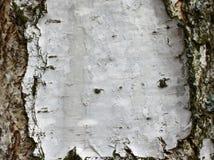 Cierre del documento de información de la textura de la corteza de abedul para arriba Imágenes de archivo libres de regalías