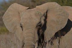 Cierre del elefante africano para arriba Fotografía de archivo libre de regalías