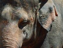 Cierre del elefante asiático para arriba Fotografía de archivo