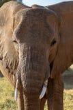 Cierre del elefante de Magnificant encima de mirar directamente la cámara fotos de archivo libres de regalías