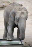 Cierre del elefante del bebé para arriba Imagen de archivo