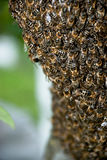 Cierre del enjambre de la abeja de la miel para arriba Foto de archivo