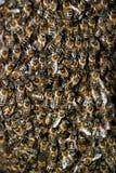 Cierre del enjambre de la abeja de la miel para arriba Fotos de archivo