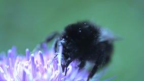 Cierre del extremo del abejorro para arriba que come el néctar de una flor rosada metrajes