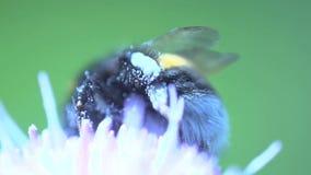Cierre del extremo del abejorro para arriba que come el néctar de una flor rosada almacen de metraje de vídeo