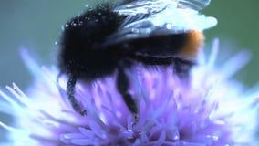 Cierre del extremo del abejorro para arriba que come el néctar de una flor rosada y que vuela lejos metrajes