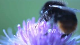 Cierre del extremo del abejorro para arriba que come el néctar de una flor rosada y que vuela lejos almacen de video