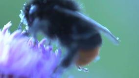 Cierre del extremo del abejorro para arriba que come el néctar de una flor rosada y que vuela lejos hecho por 2 tiros almacen de metraje de vídeo