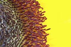 Cierre del extremo del girasol para arriba Fotos de archivo libres de regalías