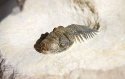 Cierre del fósil del trilobite de Crotalocephalus Gibbus para arriba en una base de la roca de fondo Imagen de archivo libre de regalías
