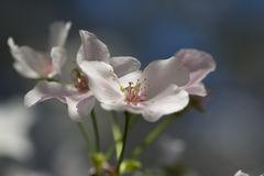 Cierre del flor de cereza para arriba fotografía de archivo
