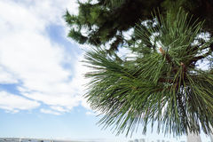 Cierre del foco selectivo encima del árbol de pino en la playa fotografía de archivo libre de regalías