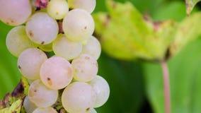 Cierre del fondo de la uva blanca para arriba Fotos de archivo